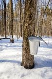 Metal bucket for collection maple syrup. Metal bucket for collection maple sap for maple syrup at springtime stock photo