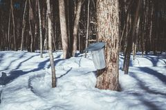 Metal bucket for collection maple syrup. Metal bucket for collection maple sap for maple syrup at springtime stock photography