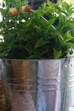 METAL BUCKET FULL OF MINT. TASTY BUNCH OF MINT IN A BRIGHT TRADITIONAL METAL BUCKET WITH HANDLE WOOD Stock Photo