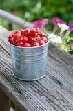 Metal bucket of sour cherries Royalty Free Stock Images