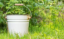 Metal bucket with a wooden handle near raspberry bushes. Empty white enameled metal bucket with a wooden handle near raspberry bushes. weeding and cleaning. with stock photos