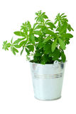 A metal bucket with woodruff plant Stock Photo