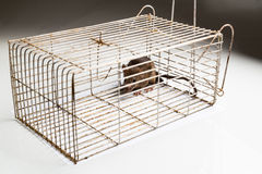Metal cage with a trapped rat Stock Photography