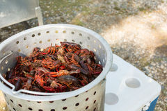 Metal container full of live crawfish. Live crawfish in a metal cooking pot ready to be boiled royalty free stock images