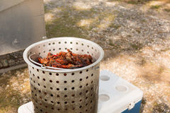 Metal container full of live crawfish to be boiled. Live crawfish in metal cooking pot ready to be boiled and purge tub royalty free stock photography
