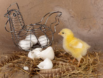 Metal easter basket and chick. Metal wire easter basket with eggs and yellow chick Stock Photography