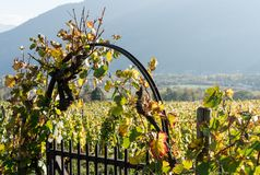 Metal garden gate and arch with grapevine and vineyard in golden fall colors. In the Swiss Alps near Maienfeld royalty free stock images