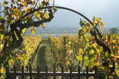 Metal garden gate and arch with grapevine and vineyard in golden fall colors. In the Swiss Alps near Maienfeld royalty free stock photo