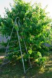 Metal ladder on a background of a cherry tree, gray fence, spring harvesting, leaves of fruit on the background of green grass. Summer house sunny day spring stock photos
