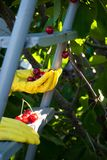Metal ladder stepladder steps hold hands in yellow rubber gloves, spring harvest work, tree ripe red berries of a sweet cherry. Leaves fruit on a background of stock photos