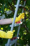 Metal ladder stepladder steps hold hands in yellow rubber gloves, spring harvest work, tree ripe red berries of a sweet cherry. Leaves fruit on a background of royalty free stock photo