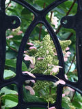 Metal lattice with a hydrangea. Royalty Free Stock Image
