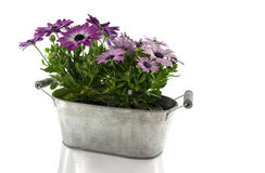 Metal pot with spanish daisy isolated on white Royalty Free Stock Photography