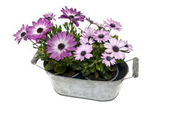 Metal pot with spanish daisy. Isolated on white background Royalty Free Stock Image