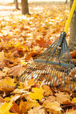 Metal rake, tree trunks and pile of bright yellow maple leaves in autumn