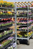 Metal shelves filled with flats of colorful flowers Royalty Free Stock Photography