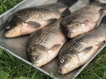 Metal tray with fresh river fish carp. On green grass Stock Images