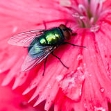 Metallic. A greenbottle fly sits on a pink dianthus petal Royalty Free Stock Photo