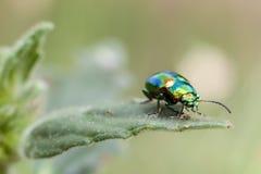 Metallic beetle on mint Royalty Free Stock Photography