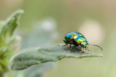 Free Metallic Beetle On Mint Royalty Free Stock Photography - 10403737