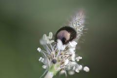 Metallic beetle in a wild flower Stock Photos