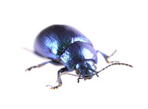 Metallic blue beetle Royalty Free Stock Images
