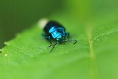 Metallic blue beetle Royalty Free Stock Image