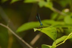 Metallic Blue-Green Male Ebony Jewelwing Damselfly Royalty Free Stock Photography