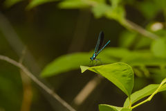 Metallic Blue-Green Male Ebony Jewelwing Damselfly on Leaf Royalty Free Stock Images