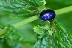 A metallic blue Mint Beetle on spearmint leaves Royalty Free Stock Photos