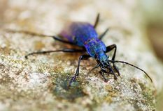Metallic blue stag beetle on stone, closeup. Metallic blue stag beetle, lucanus or platycerus, largest european insect called as horse pincher, thunder beetle Stock Images