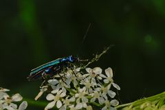 Metallic blue false oil beetle on a cow parsley flower, side view stock photography