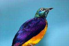 Metallic colored golden-breasted starling cosmopsarus regius looking upwards in front of a blue background Stock Photo