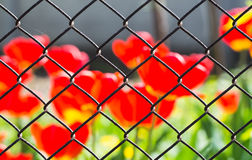 Metallic fence on the background of flowers. Metallic fence in a grid on a background of red flowers, macro shooting Royalty Free Stock Image