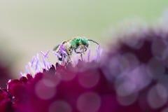 Metallic Green Bee Stock Photos