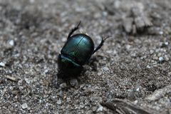Metallic green beetle royalty free stock photos
