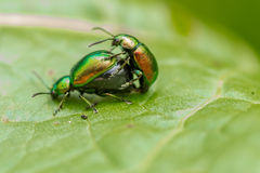 Metallic green beetles mating. The Tansy beetle & x28;chrysolina graminis& x29; is an endangered species here in the UK. It is a species of leaf  beetle Stock Photography