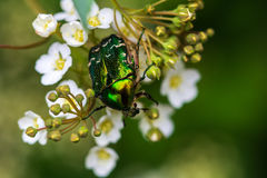 Metallic green. Flower Chafer on the flower. Macro photography of wildlife Royalty Free Stock Image