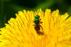 Metallic Green Sweat Bee. Walking through a dandelion collecting nectar. Rouge National Urban Park, Toronto, Ontario, Canada Royalty Free Stock Photo