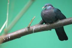 Metallic pigeon Royalty Free Stock Images