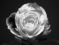 Metallic rose Royalty Free Stock Photography