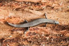 Metallic Skink Stock Photos