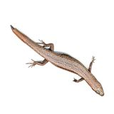 Metallic Skink Royalty Free Stock Photos