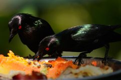 Metallic starlings eating Royalty Free Stock Photo