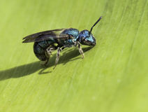 Metallic Sweat Bee on Green Leaf Royalty Free Stock Images