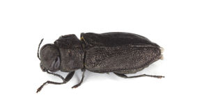 Metallic wood-boring beetle. Royalty Free Stock Photos