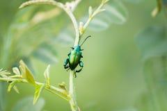 Metallic wood-boring beetle Royalty Free Stock Images