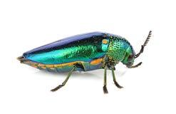 Metallic wood-boring beetle  isolated on white background. The metallic wood-boring beetle  isolated on white background Stock Photography