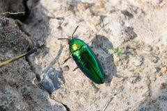 Metallic wood-boring beetle or Jewel beetle or Buprestid Royalty Free Stock Photos