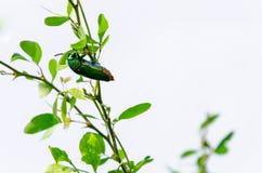Metallic wood-boring beetle Stock Image